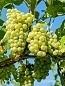 grapes-2656259_640.jpg